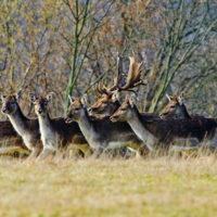 Gasthof Waldeslust 201402-Dammhirsch-mit-Rudel-9679-sh-200x200 Bilder - Tiere