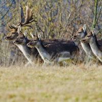 Gasthof Waldeslust 201402-Dammhirsch-mit-Rudel-9683-sh-200x200 Bilder - Tiere
