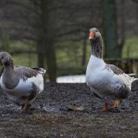 Gasthof Waldeslust 201402-Gans-und-Gänserich-9095-200x200 Bilder - Tiere