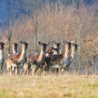 Gasthof Waldeslust 201402-Gruppe-Dammwild-9624-sh-sRGB-200x200 Bilder - Tiere