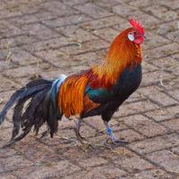 Gasthof Waldeslust 201402-Hahn-8996-200x200 Bilder - Tiere