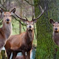 Gasthof Waldeslust 201402-Hirsch-mit-2-Ricken-8985-200x200 Bilder - Tiere