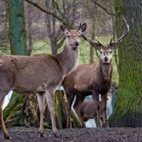 Gasthof Waldeslust 201402-Hirsch-mit-Ricke-8993-sh-200x200 Bilder - Tiere