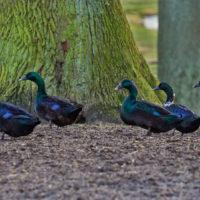 Gasthof Waldeslust 201402-blau-schwarze-Enten-9080-sh-1-200x200 Bilder - Tiere