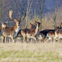 Gasthof Waldeslust 201402-fallow-deer-with-herd-9611-sh-sRGB-200x200 Bilder - Tiere