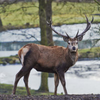 Gasthof Waldeslust 201402-red-deer-watching-9011-sh-200x200 Bilder - Tiere