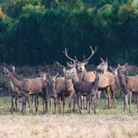 Gasthof Waldeslust 201402-red-deer-with-herd-9547-sh-sRGB-200x200 Bilder - Tiere