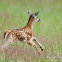 Gasthof Waldeslust 201606-red-deer-calf-jumping-1418-sh-sRGB-200x200 Bilder - Tiere
