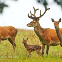 Gasthof Waldeslust 201606-red-deer-calf-with-parents-1114-sh-sRGB-1-200x200 Bilder - Tiere