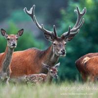 Gasthof Waldeslust 201606-red-deer-family-1451-sh-sRGB-200x200 Bilder - Tiere