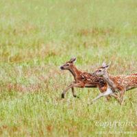 Gasthof Waldeslust 201606-two-calfs-running-1345-rz-sh-sRGB-200x200 Bilder - Tiere