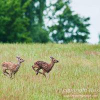 Gasthof Waldeslust 201606-two-red-deer-calfs-running-1342-sh-sRGB-1-200x200 Bilder - Tiere