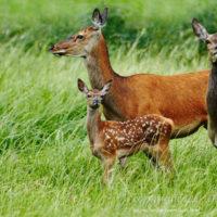 Gasthof Waldeslust 201607-Ricke-mit-Kalb-1706-sh-200x200 Bilder - Tiere