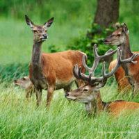 Gasthof Waldeslust 201607-red-deer-with-female-1702-200x200 Bilder - Tiere