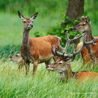 Gasthof Waldeslust 201607-red-deer-with-female-1702-sh-200x200 Bilder - Tiere