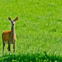 Gasthof Waldeslust 30x40-201506-Ricke-im-Licht-3726-sh-sRGB-200x200 Bilder - Tiere