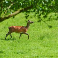 Gasthof Waldeslust 30x40-201506-red-deer-female-in-grass-3778-sh-sRGB-200x200 Bilder - Tiere