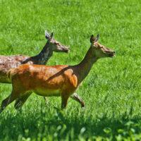 Gasthof Waldeslust 30x40-201506-red-deer-female-with-fawn-3731-sh-sRGB-1-200x200 Bilder - Tiere