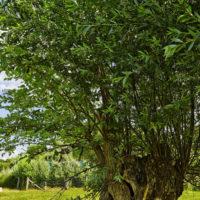 Gasthof Waldeslust 30x40-201507-Weide-mit-unterschiedlichen-Blättern-6651-sh-200x200 Bilder - Umgebung
